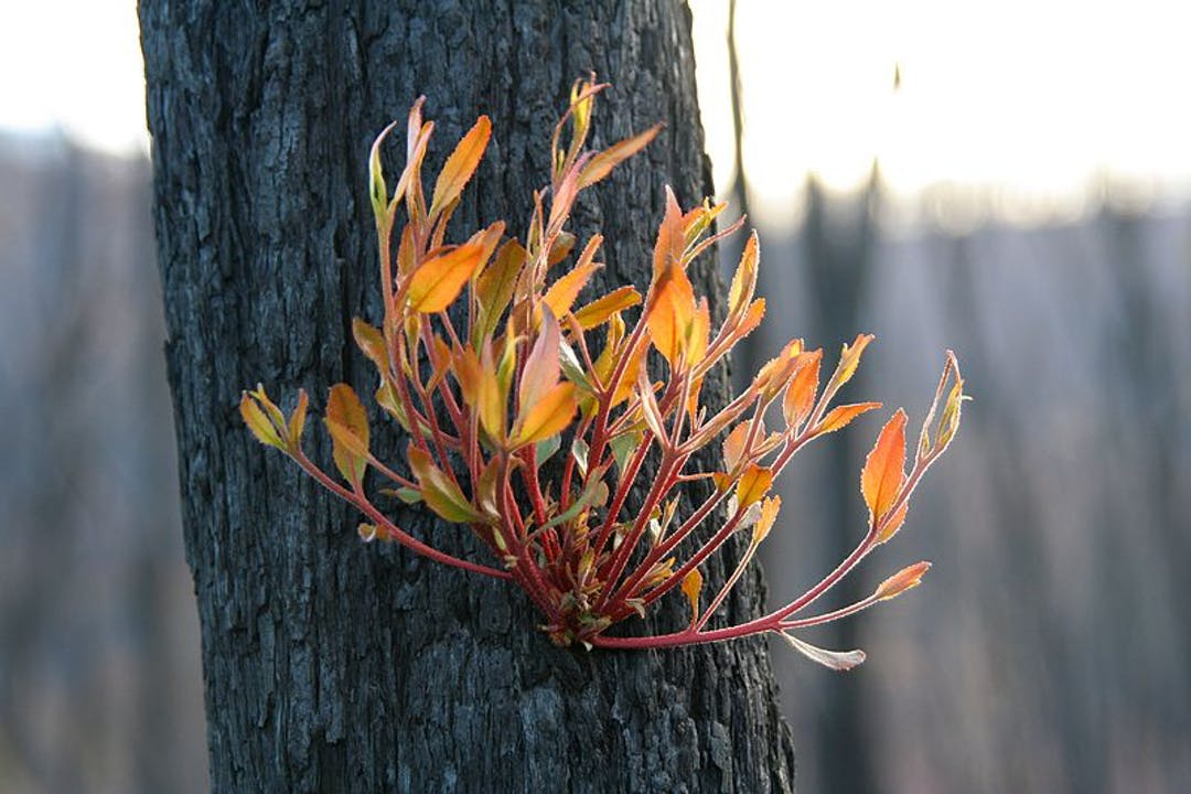 Epicormic regrowth from bark of Eucalypt, four months after Black Saturday bushfires, Strathewen, Victoria.