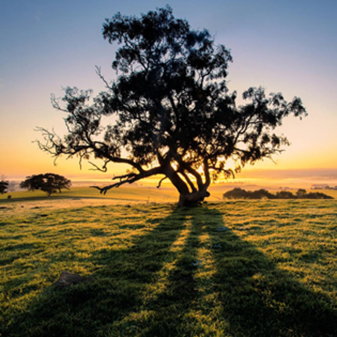 Tree in a paddock at sunset