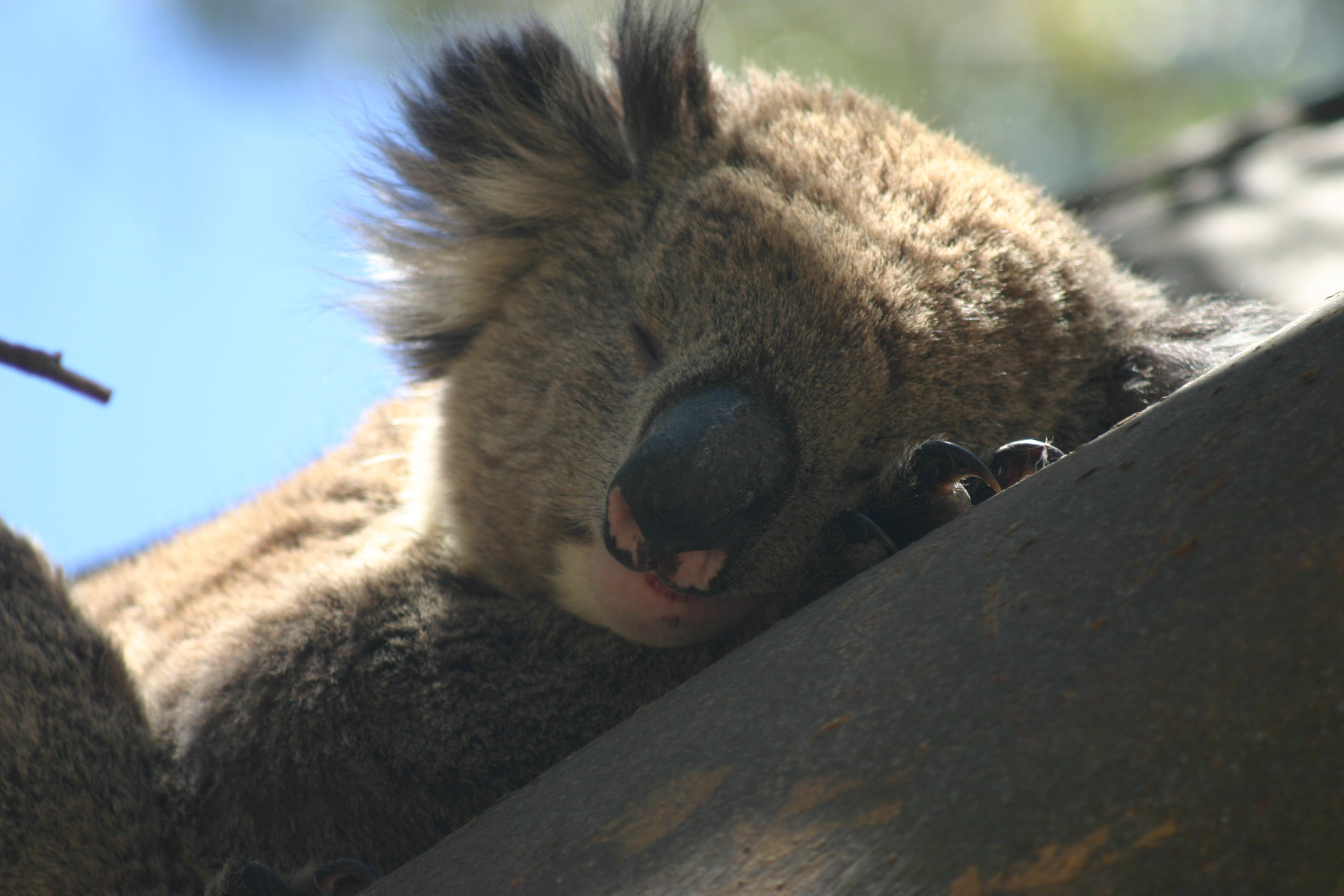 Koala (Image: J. Facelli)