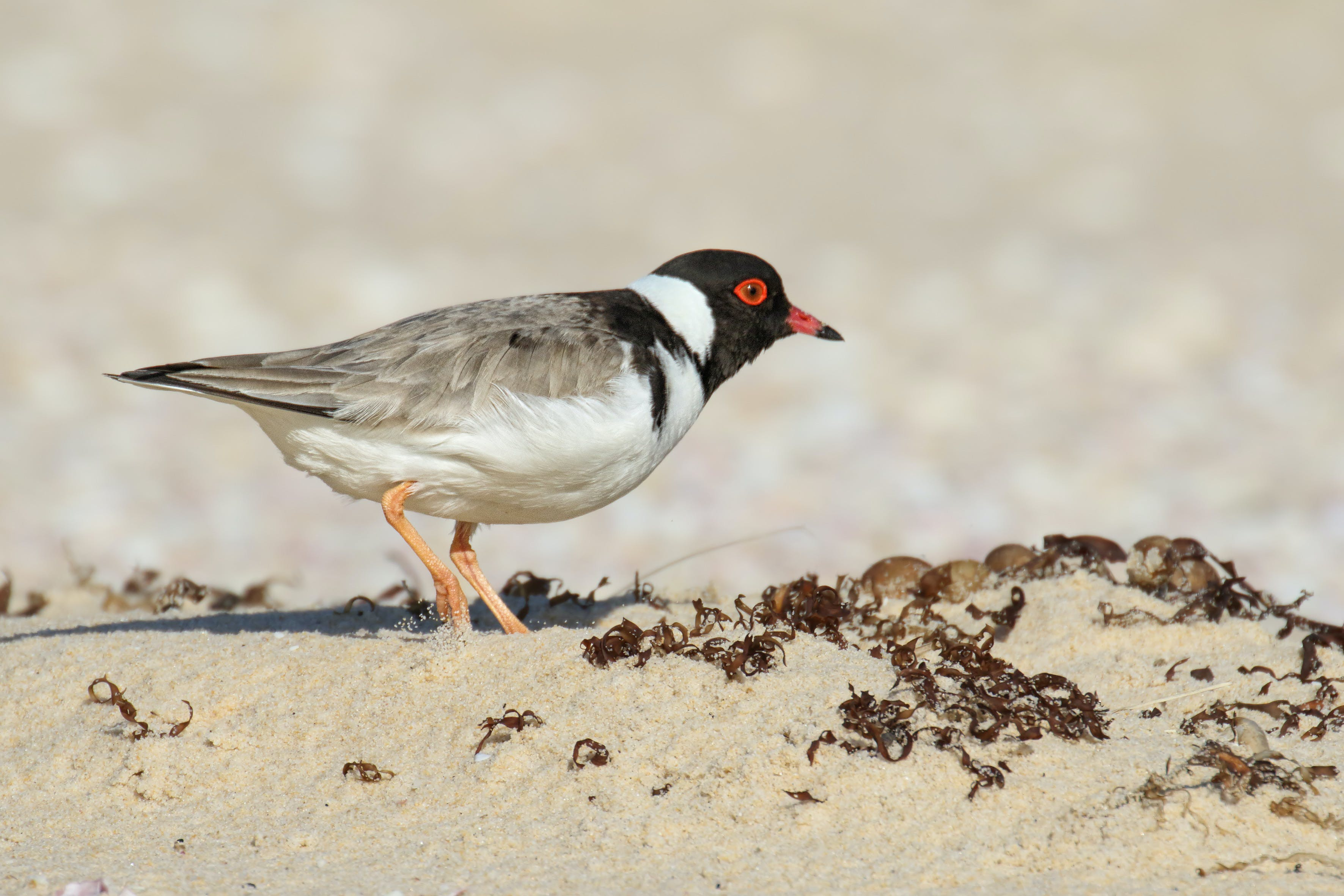 Hooded plover adult. Photo: L Berzins.