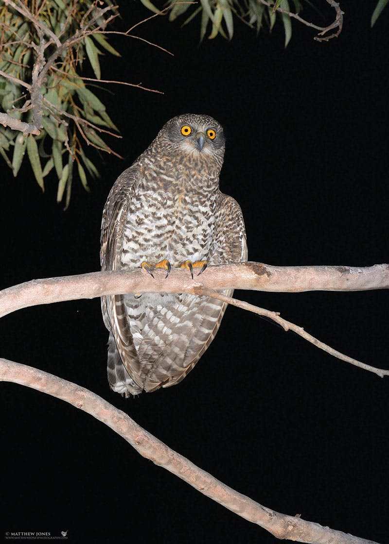 Powerful owl at night. Photo credit: M Jones, www.matthewjonesphotography.com.
