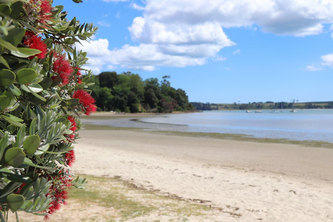 Pohutukawa tree by a beach.
