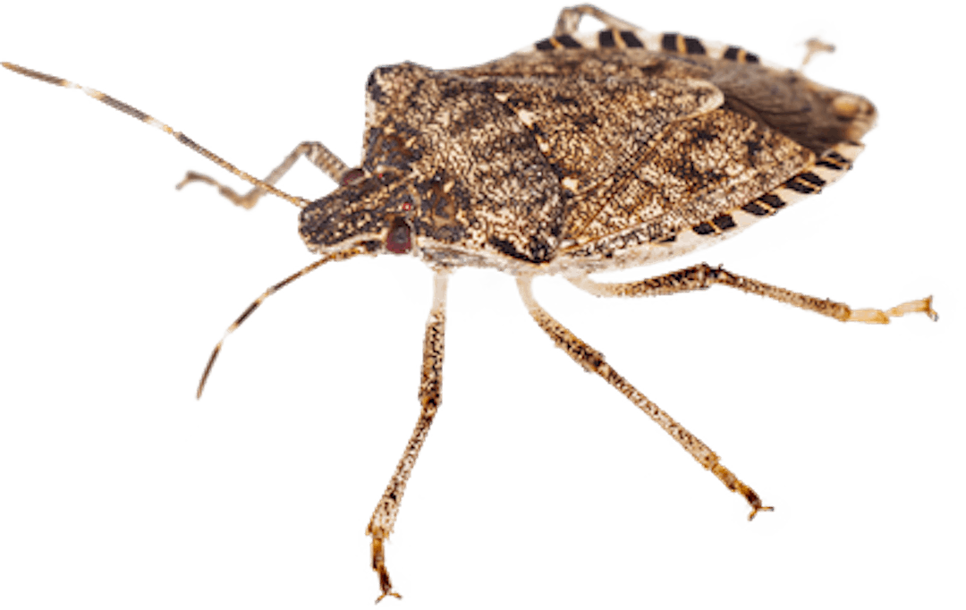 Image of a brown marmorated stink bug
