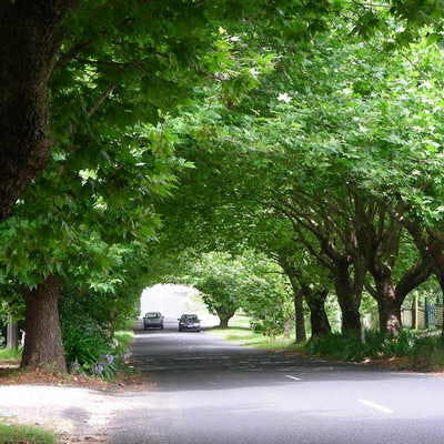 Plane Tree Avenue at Wentworth Falls