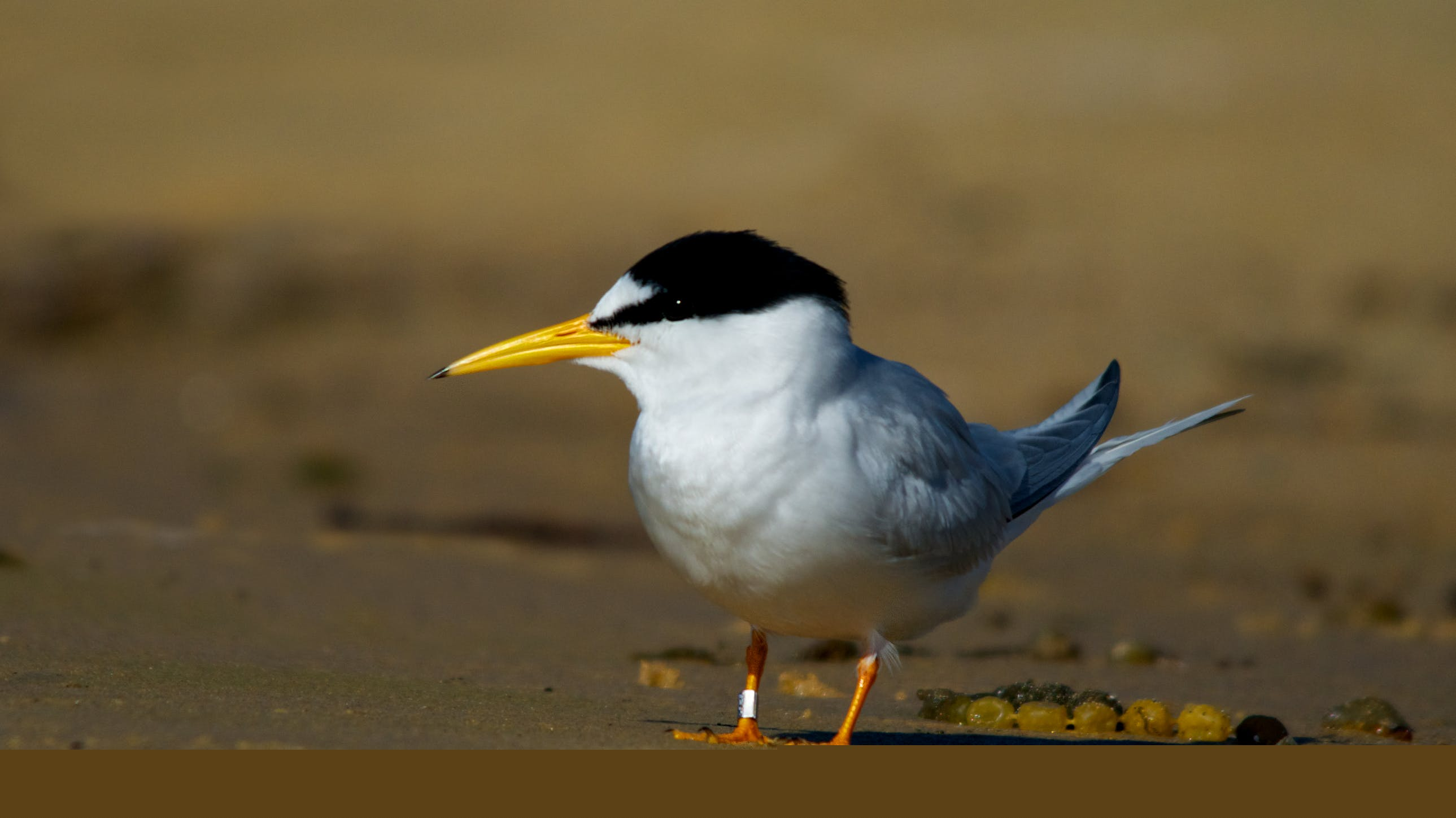 Little tern adult on beach. Little terns are distinguishable from fairy terns by their black bill tip, black 'eyeline' and slightly different shade of yellow bill. Photo: J Cornish.