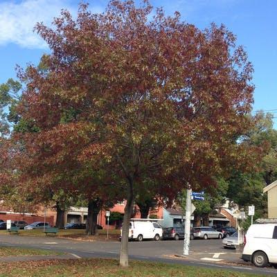 Pin Oak (Autumn)