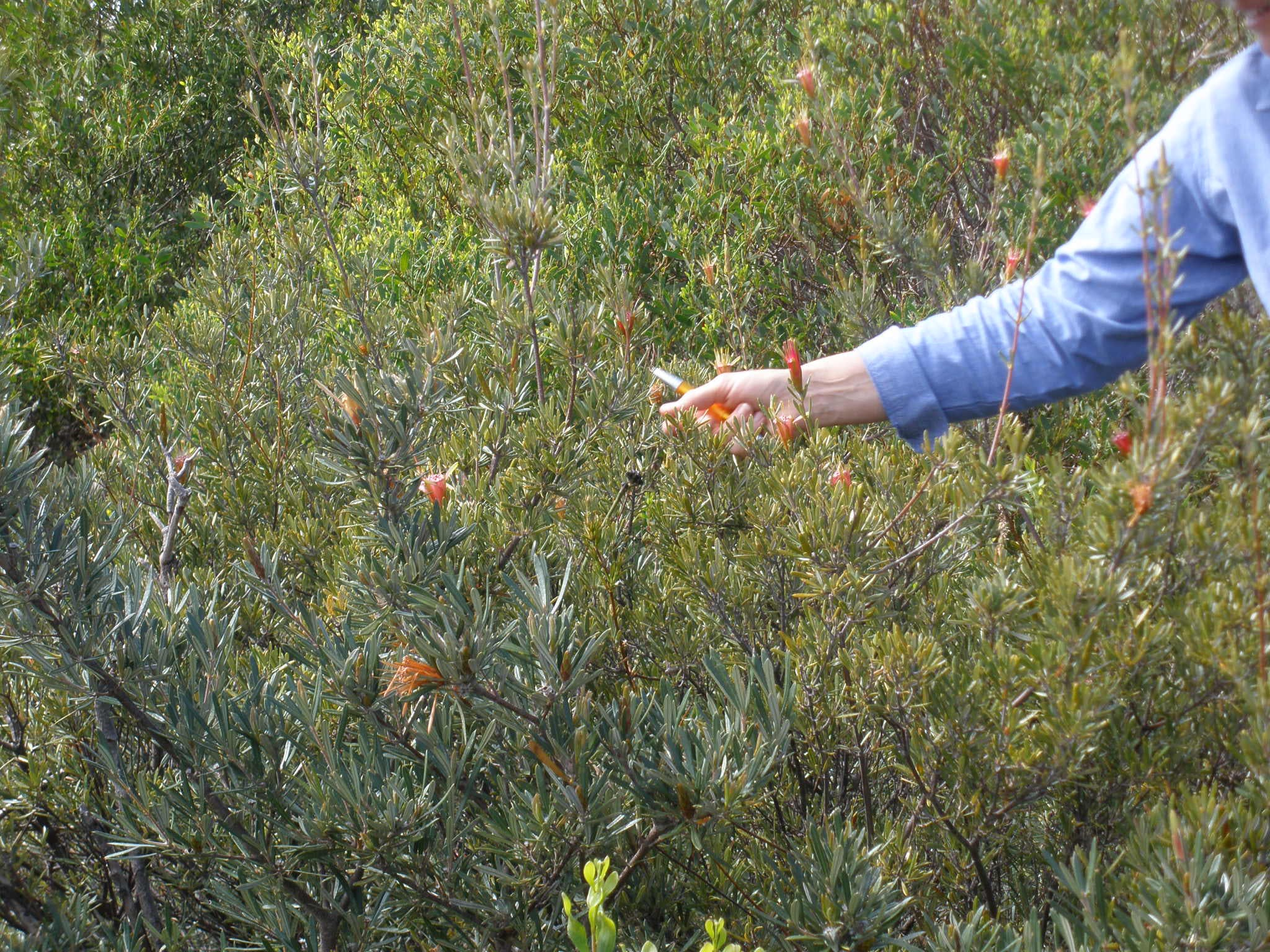 Eastern Suburbs Banksia Scrub
