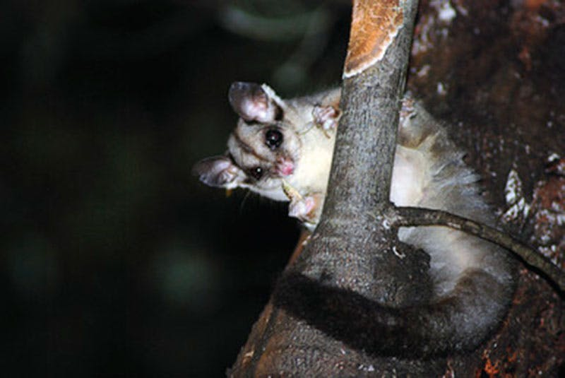 One of the many gliders you can spot at night in NSW. The squirrel glider is under threat. Photo credit: J Betteridge, OEH.