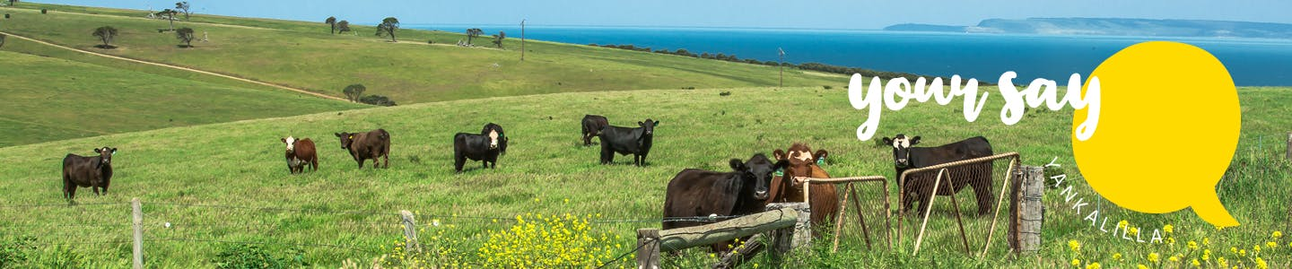 Your Say Yankalilla Banner - Cows at Cape Jervis