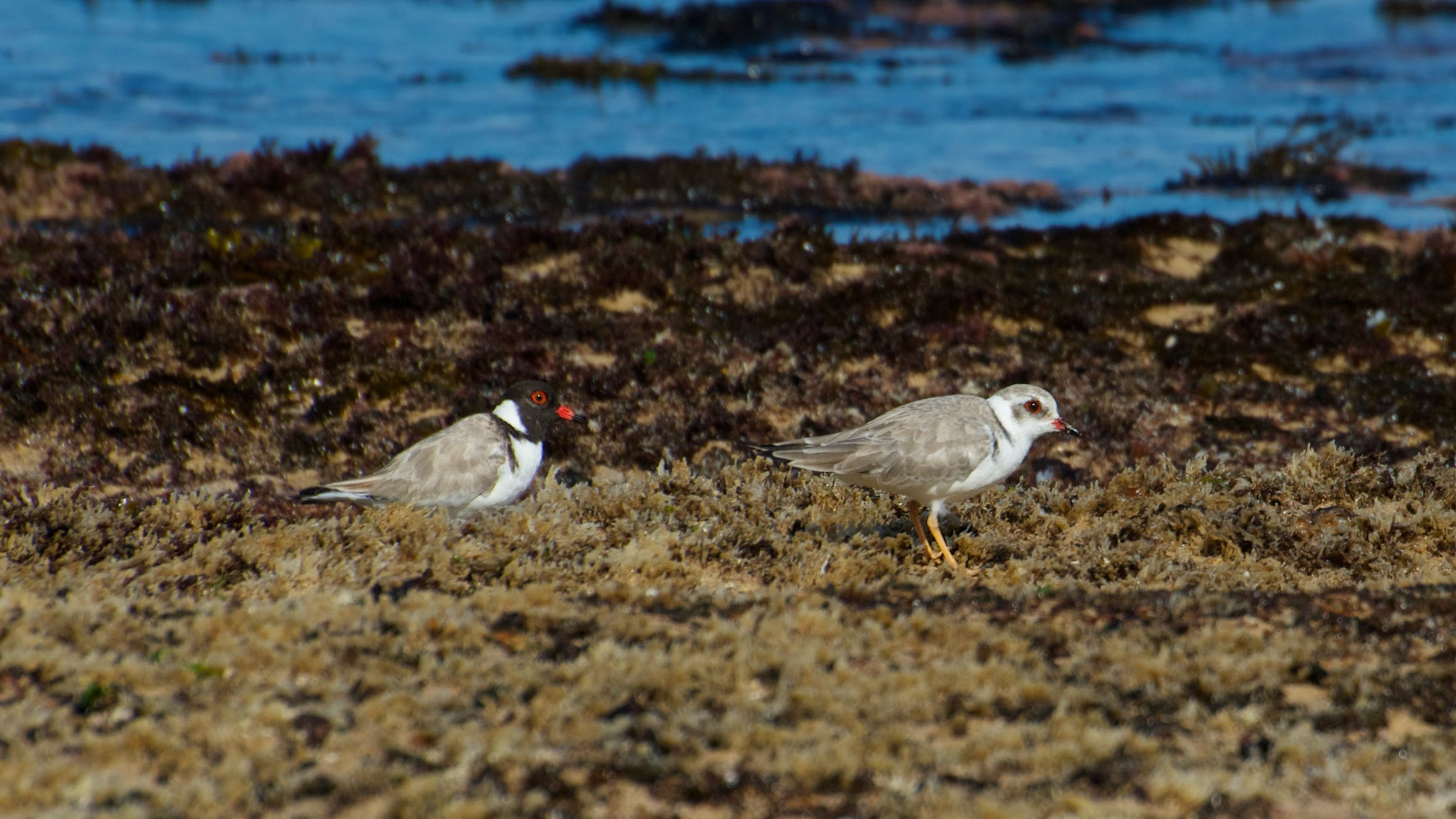 Hooded plover adult and juvenile. Photo: J Cornish.