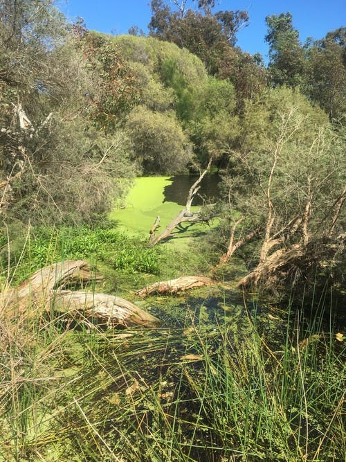 Duckweed at Neil McDougall Lake