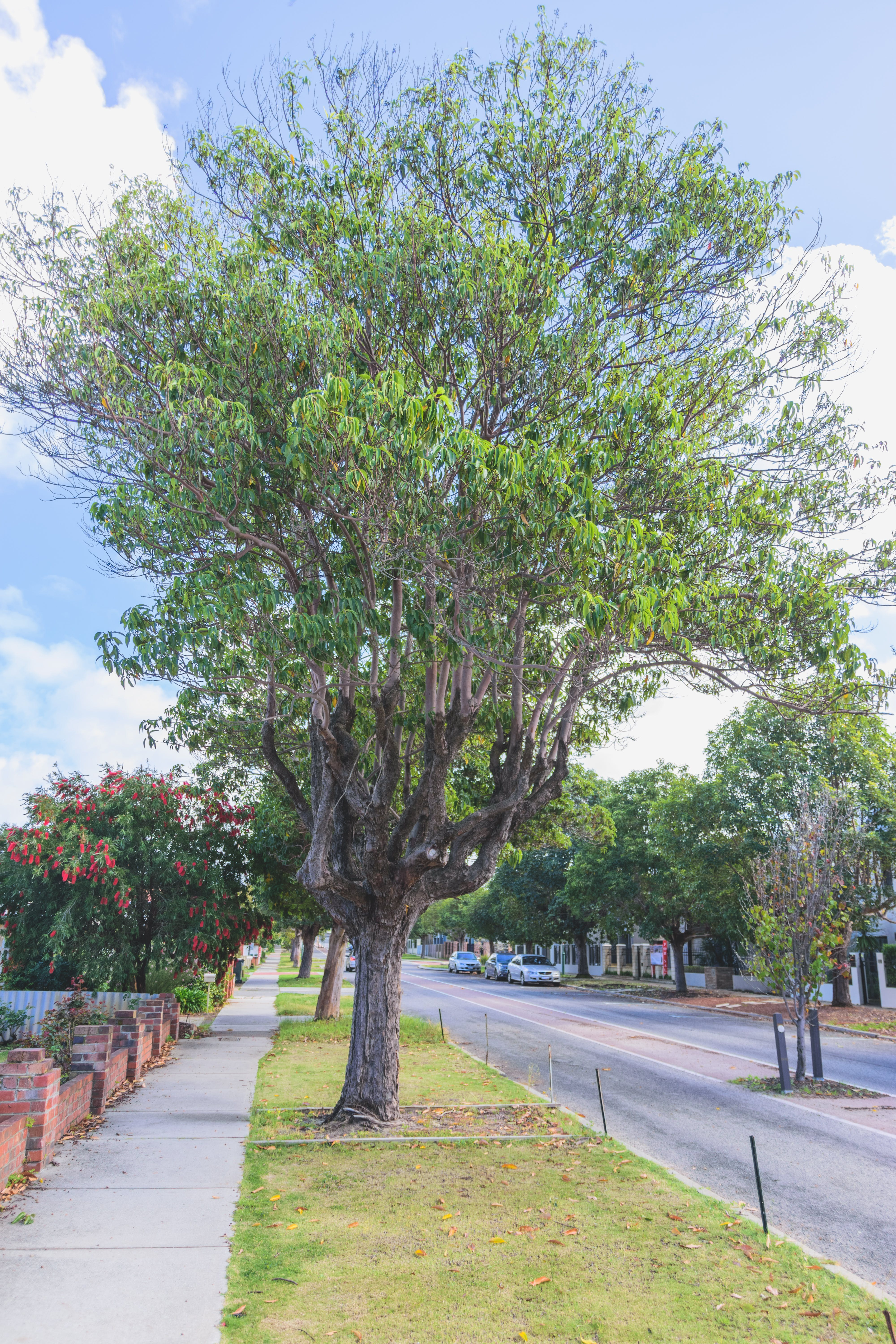 Street tree after powerlines have been removed.