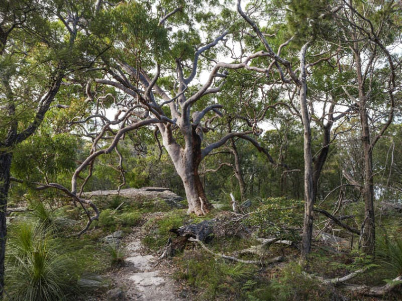 Sydney red gum (Angophora costata). Photo: D Finnegan/OEH