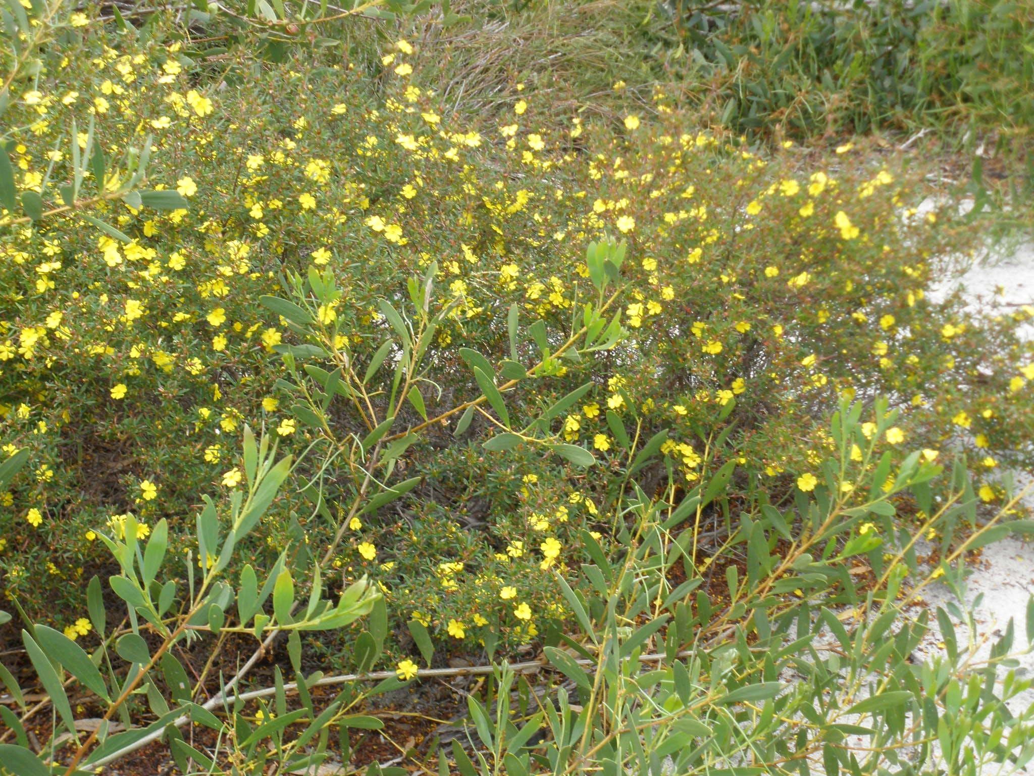 Local floraEastern Suburbs Banksia Scrub