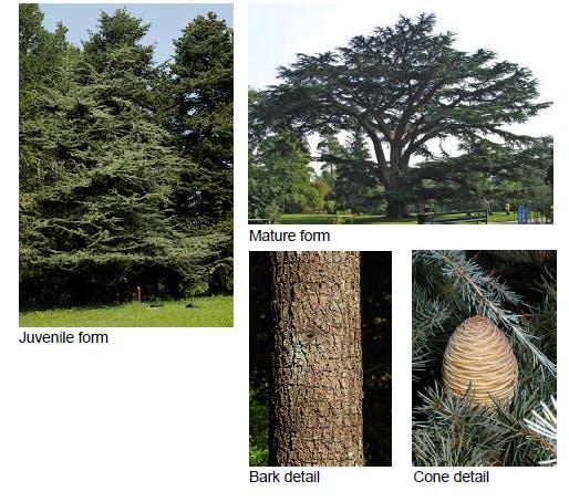 Cedrus libani - Lebanon Cedar