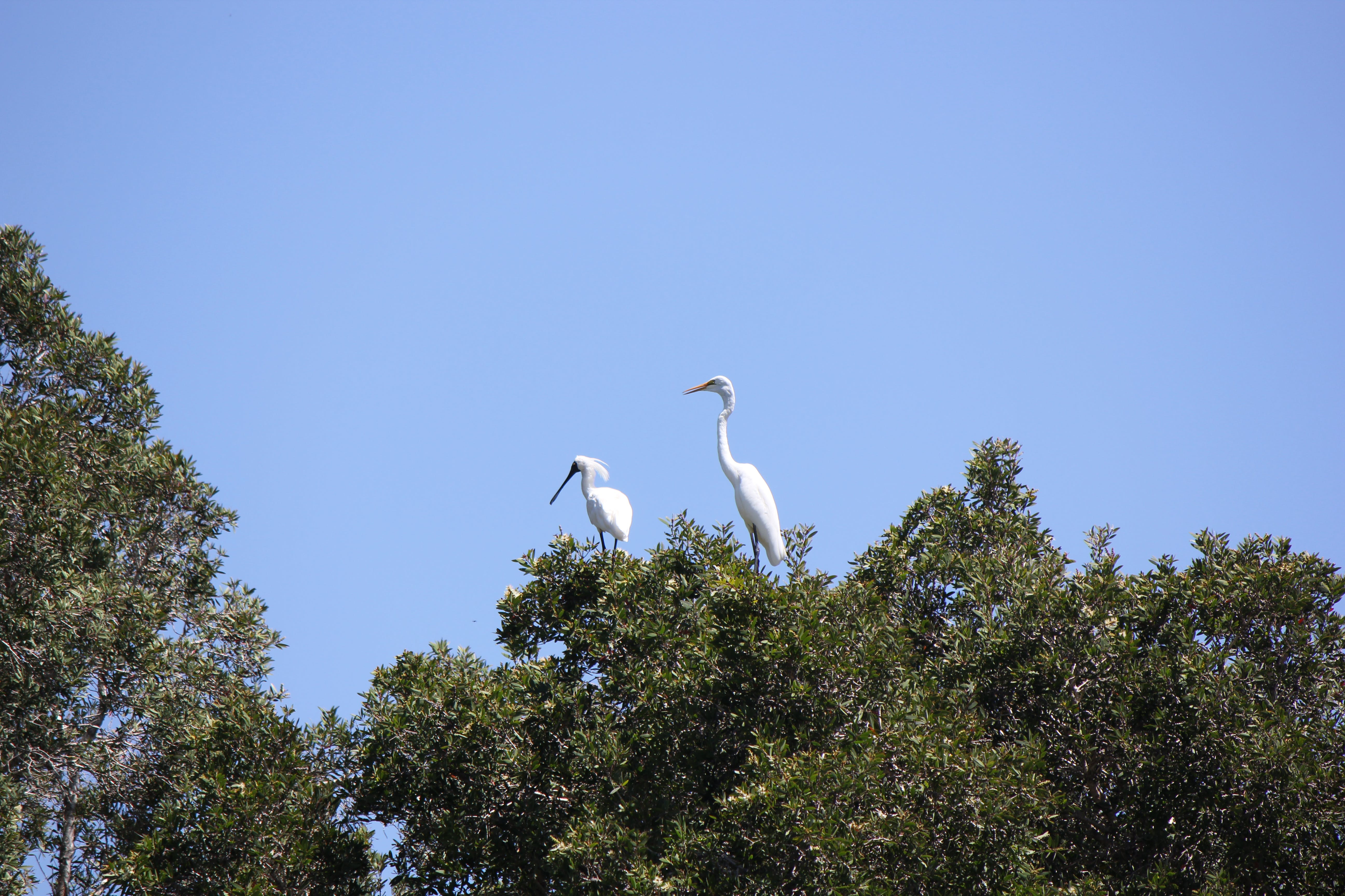 Eastern Great Egret and Royal Spoonbill