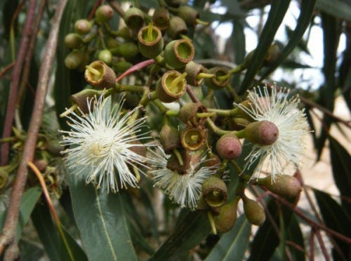 Corymbia Mac (Flower Seed)