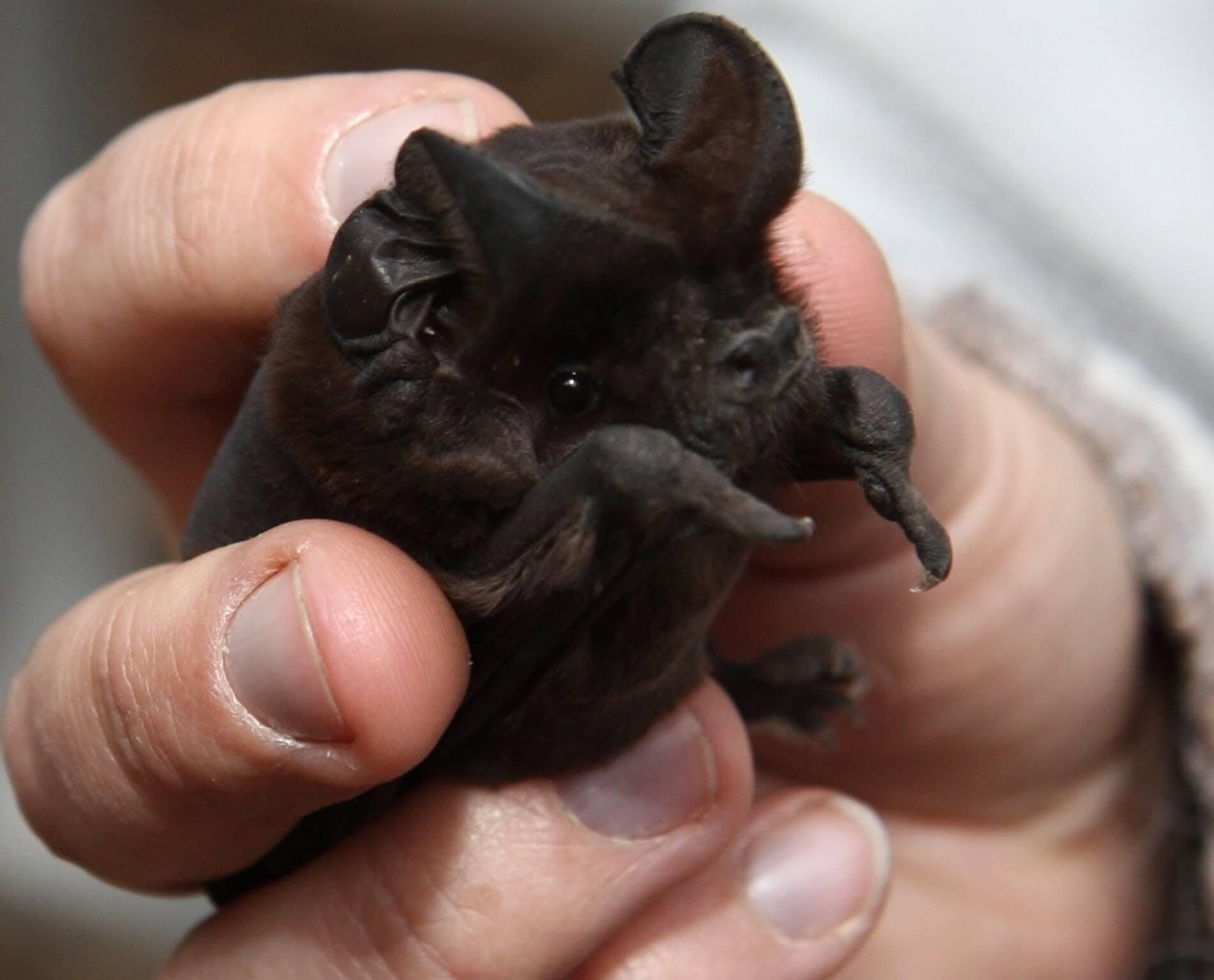 White Striped Mastif Bat