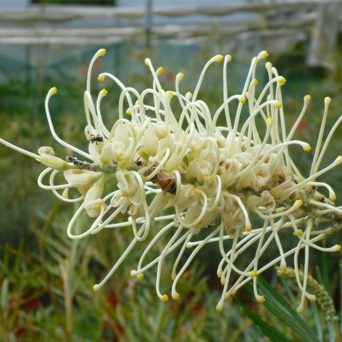 Grevillea moonlight - example of low shrub