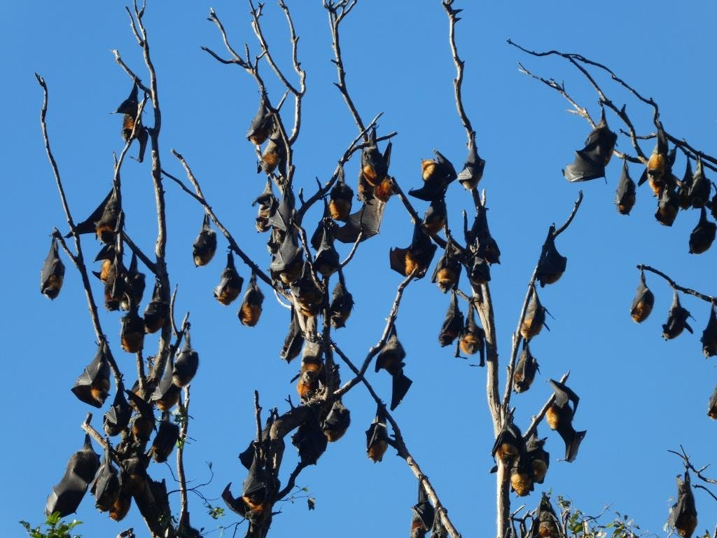 Flying-foxes in Maclean