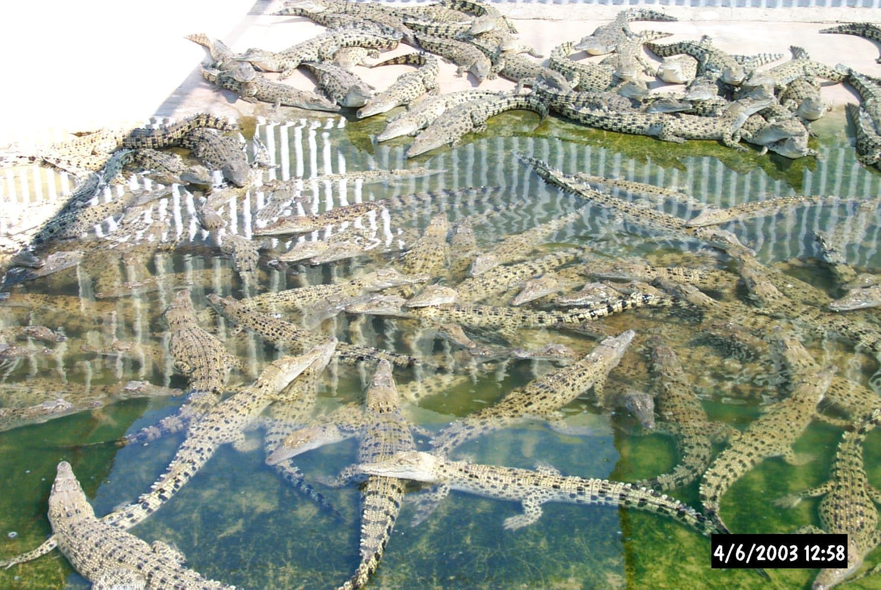 Crocodile farming