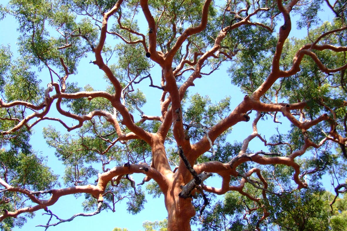 Angophora Canopy