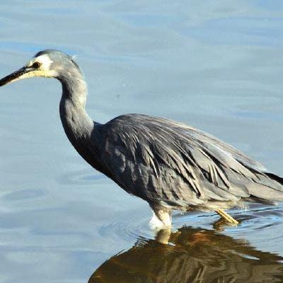 Wading white-faced heron