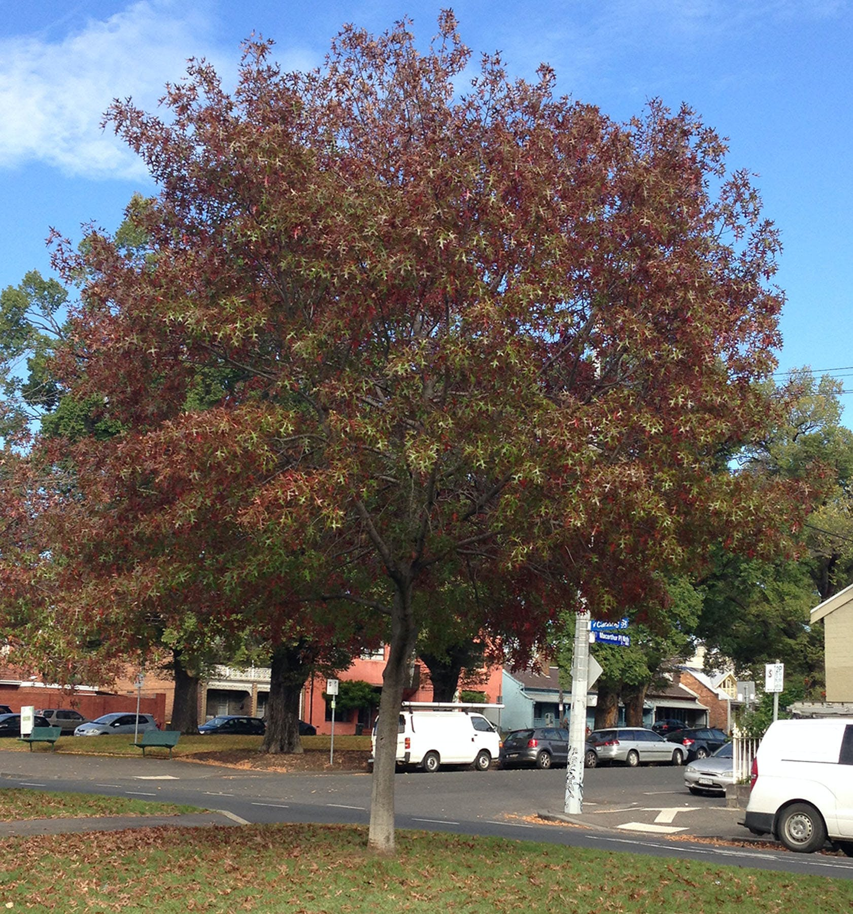 Pin Oak (Autumn)
