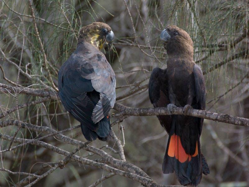 Glossy black cockatoos (Calyptorhynchus lathami). Photo: Michael Todd/OEH