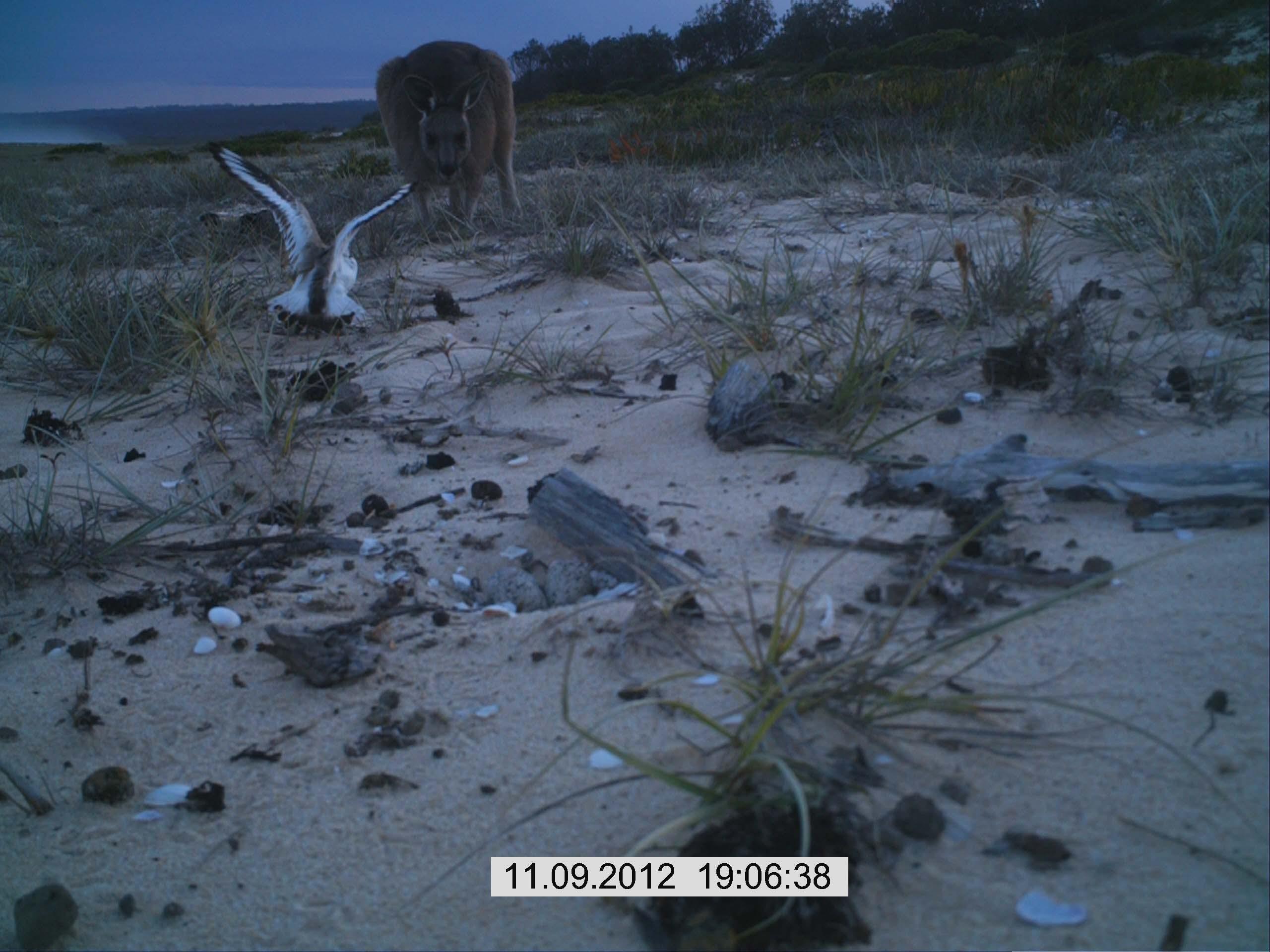 Kangaroo near hooded plover nest and beach. Photo: A Harris.