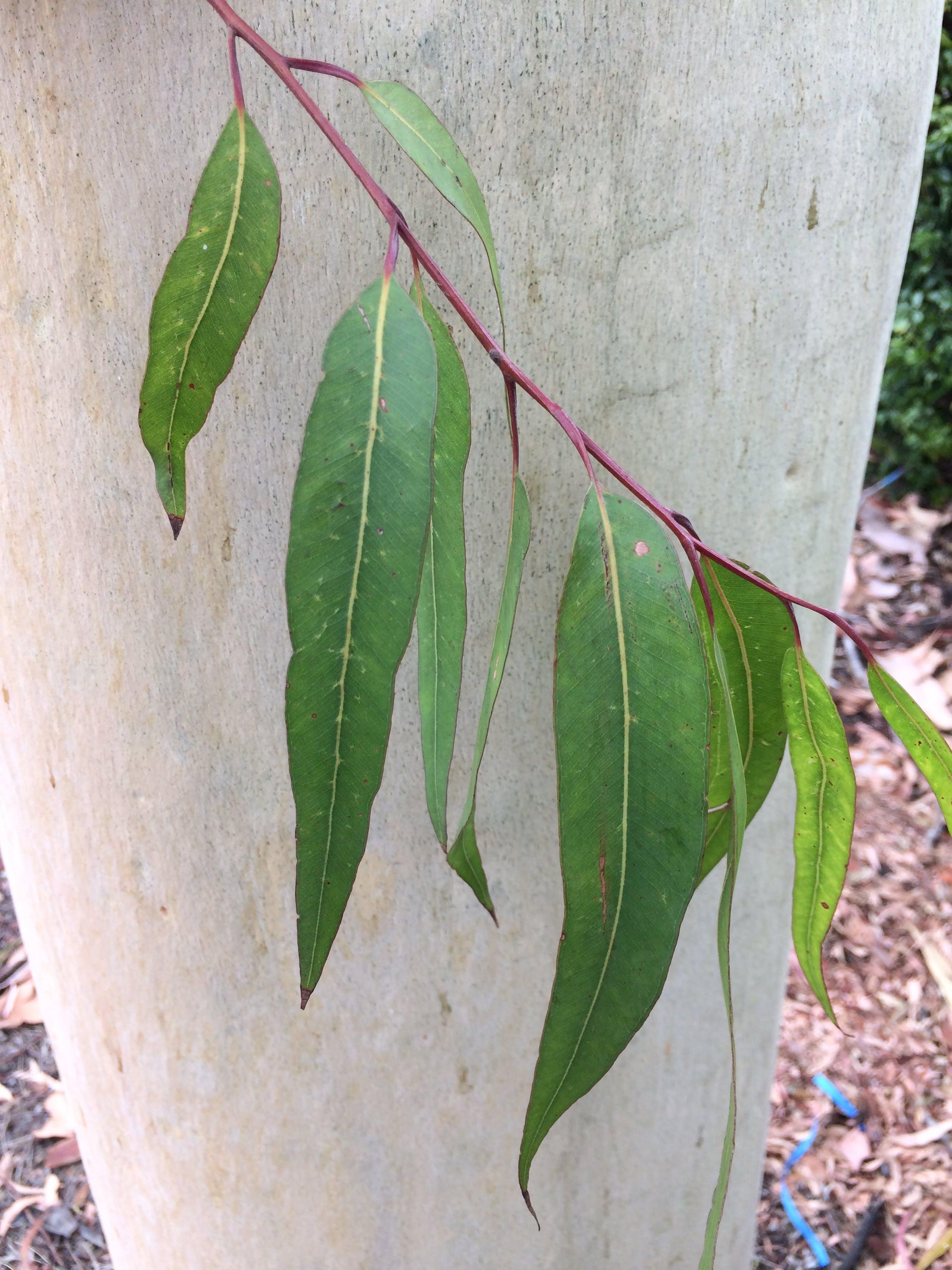 Lemon scented gum   leaves