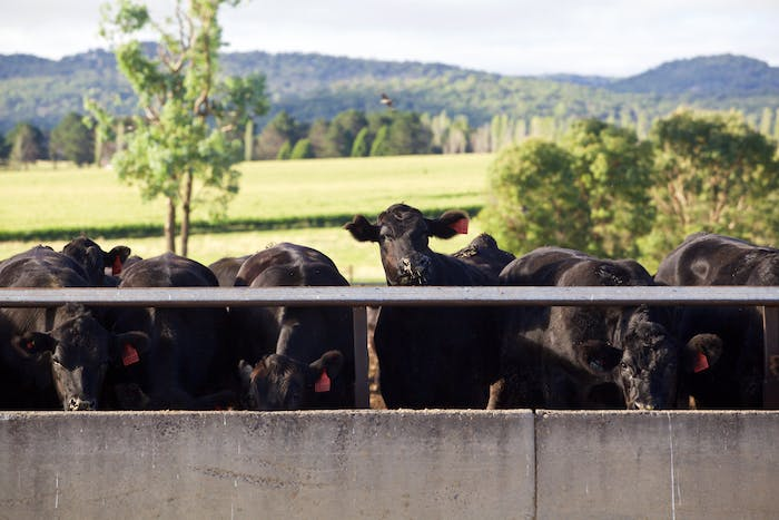 Cattle at Feed Trough