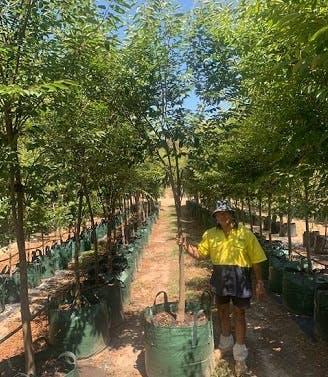 Zelkova.trees.JPG