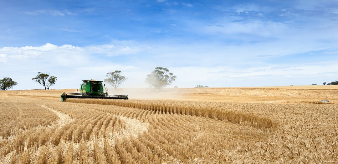 Machine harvesting wheat.