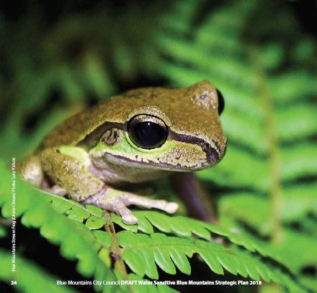 Blue Mountains Stream Frog (Litoria Citropa) Photo: Lucy Kidson