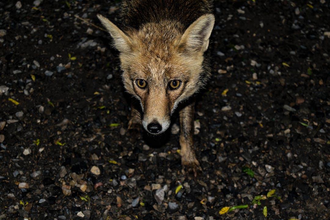 Pest Control: Fox Control Program