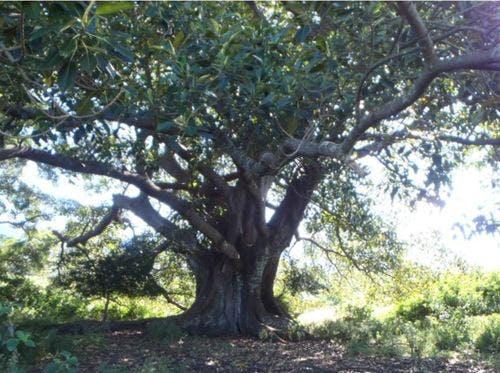 Moreton Bay Fig (Karreuaira)