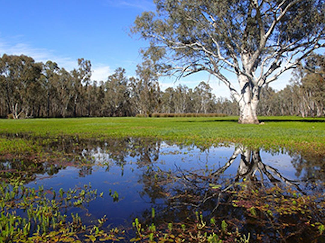 A large river red gum tree surrounded by Little Rushy Swamp in flood in Victoria.