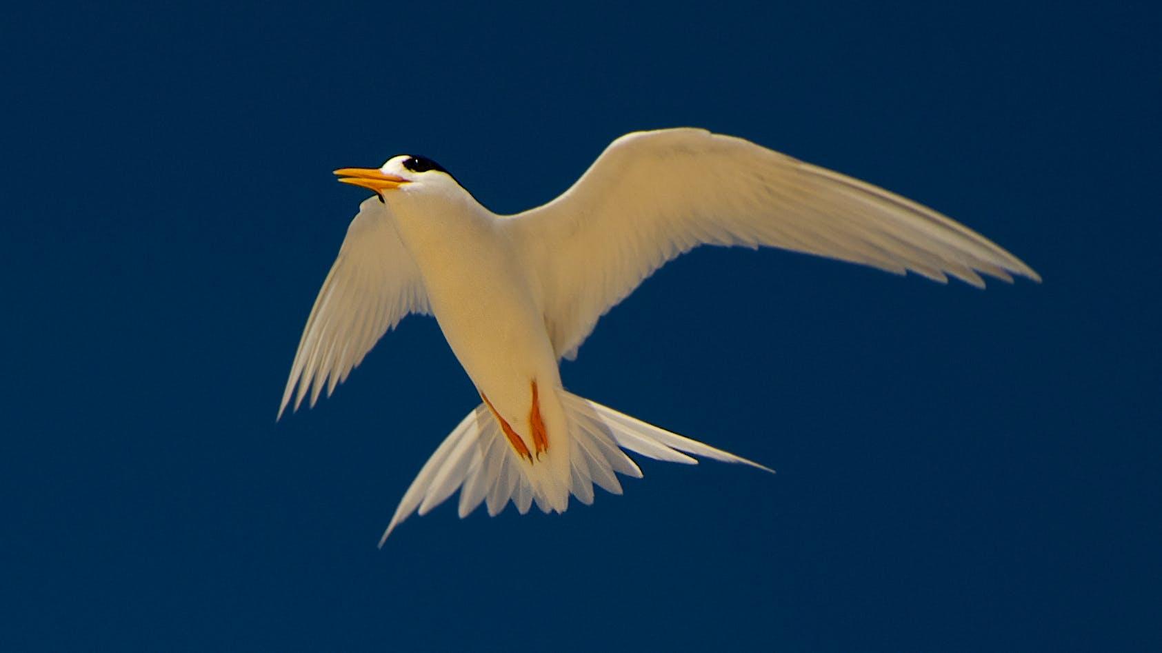Fairy tern in flight. Photo: J. Cornish.
