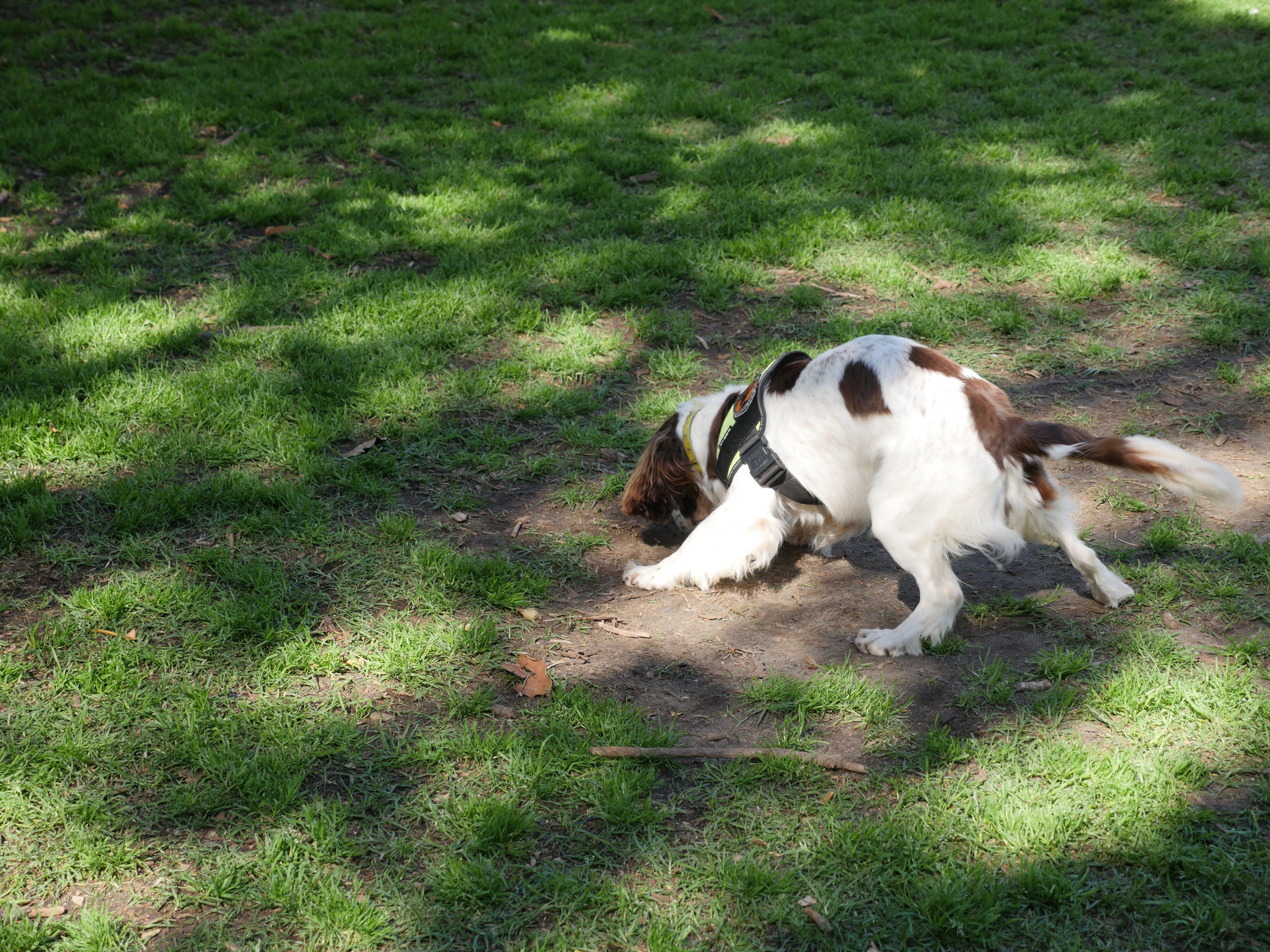 Detection Dog Finding Alligator Weed
