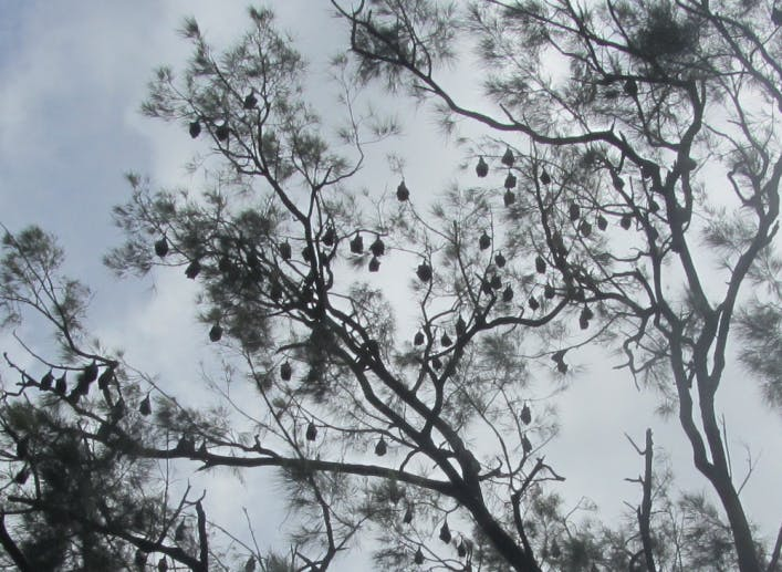 Flying Fox roost