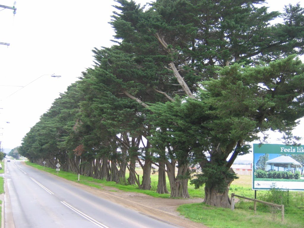 Cypress Hedge along Narre Warren-Cranbourne Road