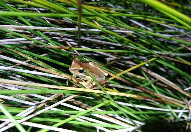 Anglesea borefield - frogs