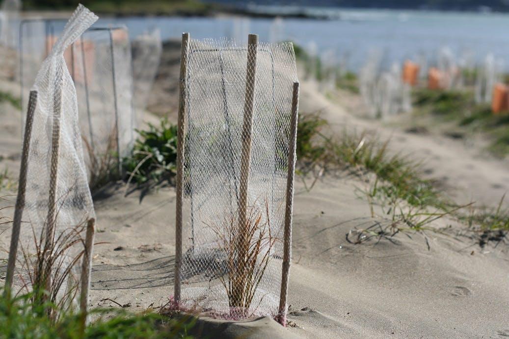 Recent coastal plantings