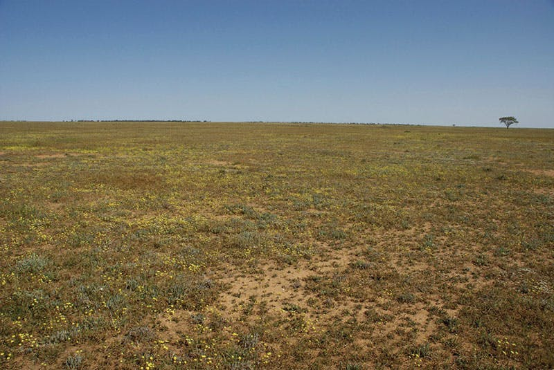 The critically endangered plains wanderer lives in the grass and fields of the southwest and Riverina. Photo credit: D Parker.