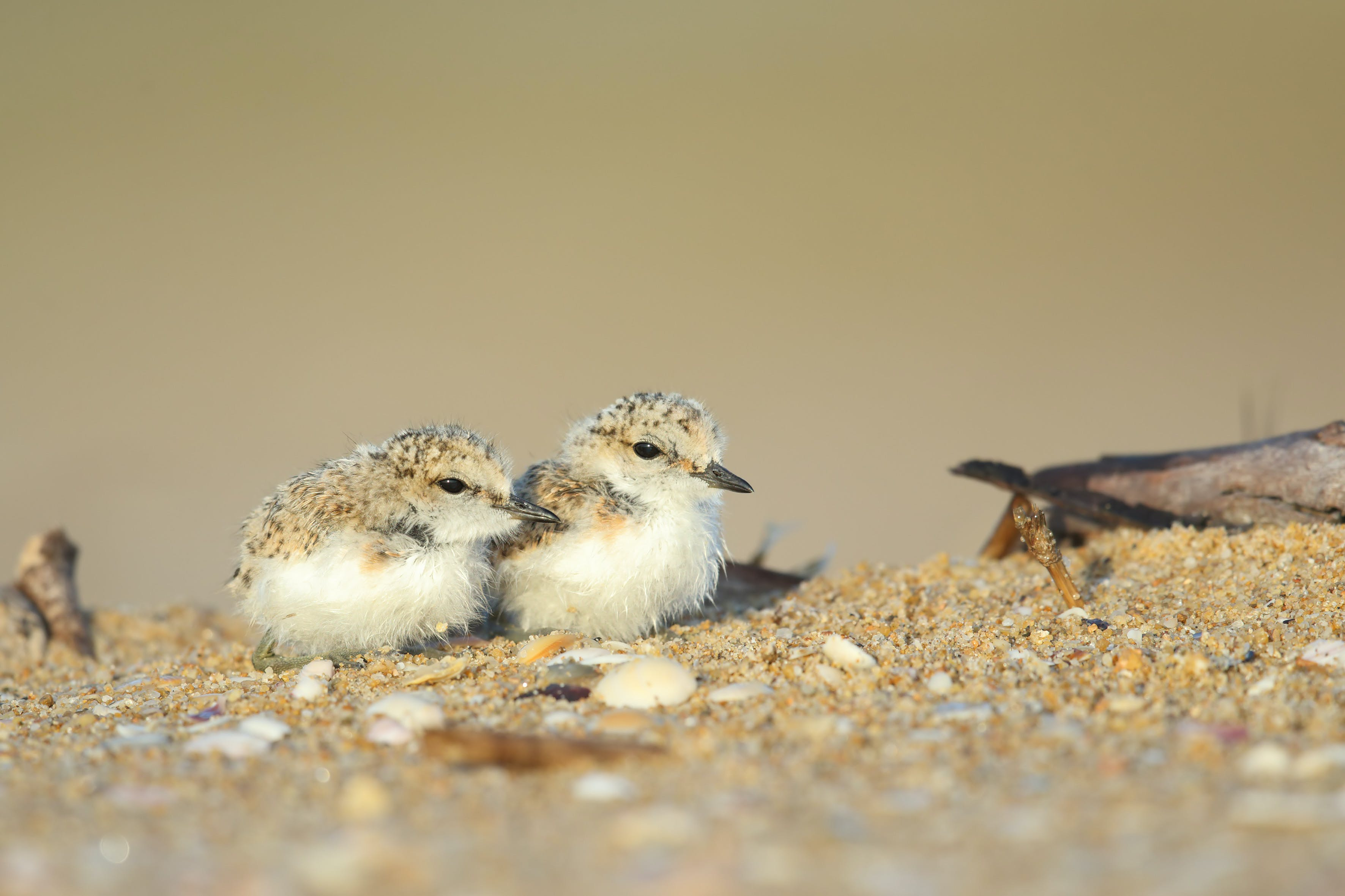 Red-capped plover chicks on beach. Photo: L Berzins.