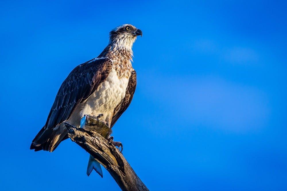 Image credit: A. Bell, Osprey