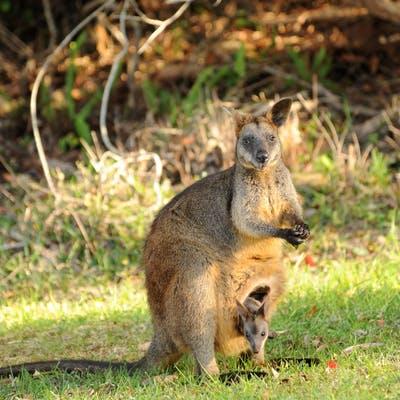 Swamp Wallaby Wallabia Bicolor (11)