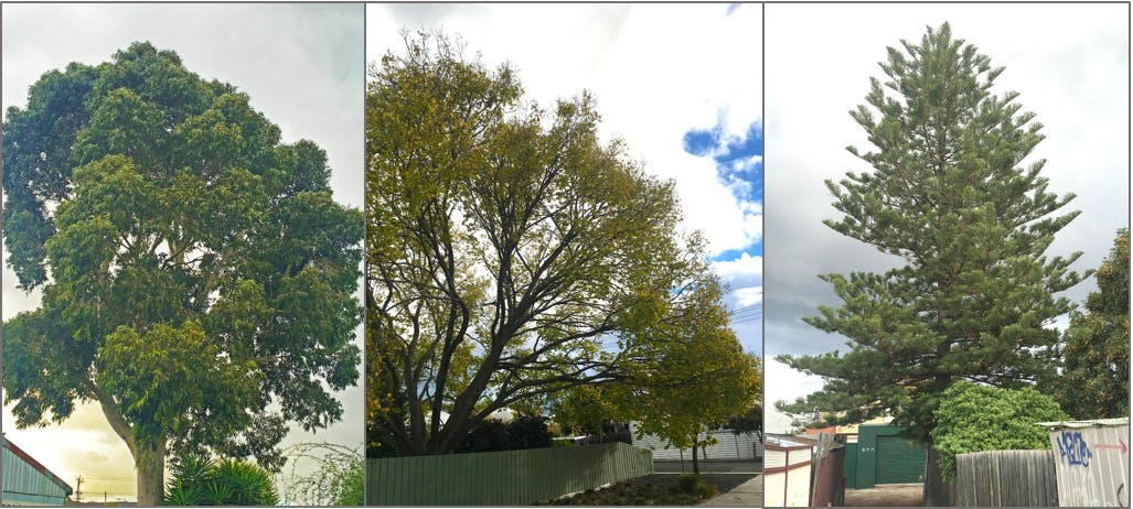 (L-R) Eucalyptus species, Ulmus (or elm) species, Araucaria species