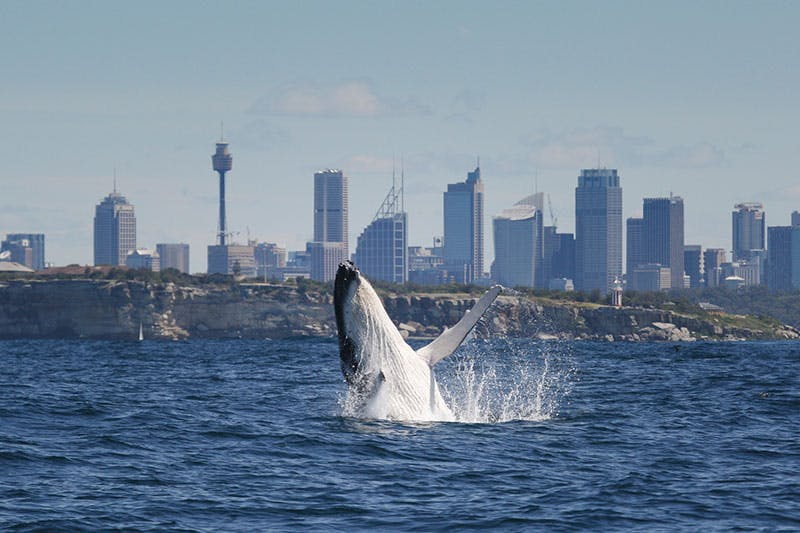 NSW has four threatened whale species. The humpback is vulnerable, but its population is increasing. Photo credit: OEH.